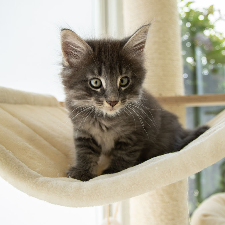 avabellacats_kitte2020-Gawin-Blue